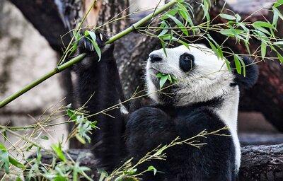 Панды зиме рады: как зоопарк встречает новый сезон