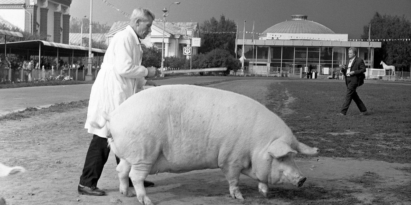 Показ свиней. 1972 год. Пресс-служба ВДНХ
