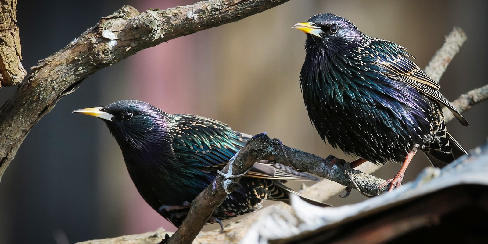 Starlings. Photo: Mospriroda
