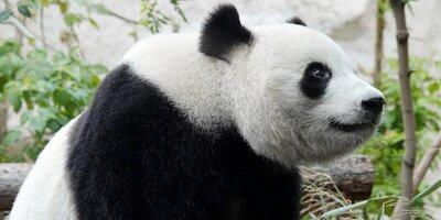 Букеты из бамбука и любовная драма: Russpass рассказывает о пандах Московского зоопарка