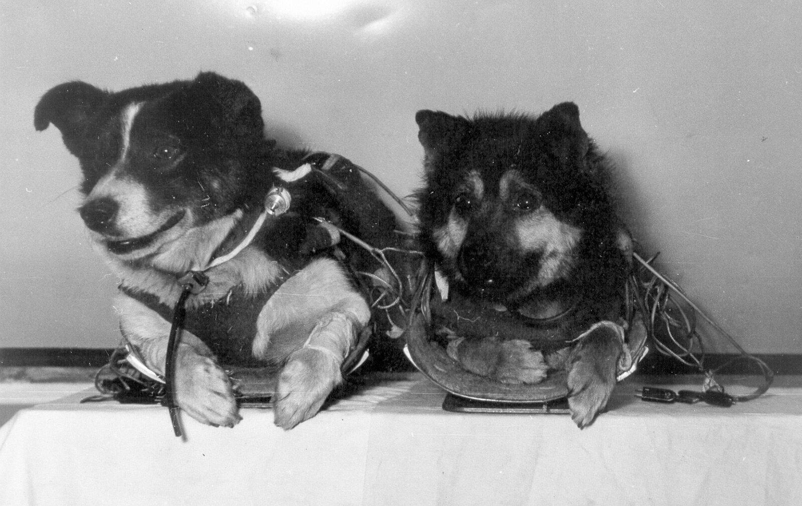 Собаки Ветерок и Уголек. Из фондов Музея космонавтики